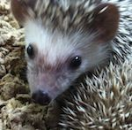 Thumbnail image for #Hedgehog Obsession